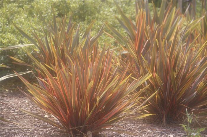 Plant photo of phormium rainbow warrior