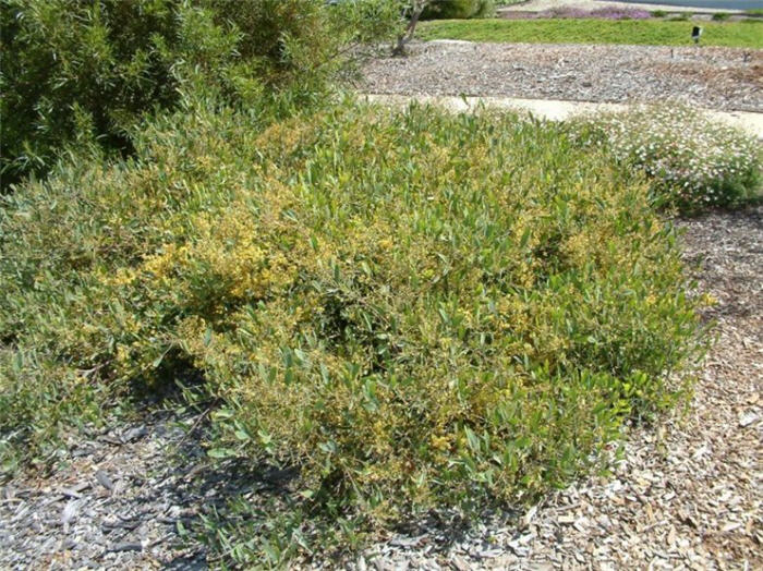 Plant photo of: Acacia redolens