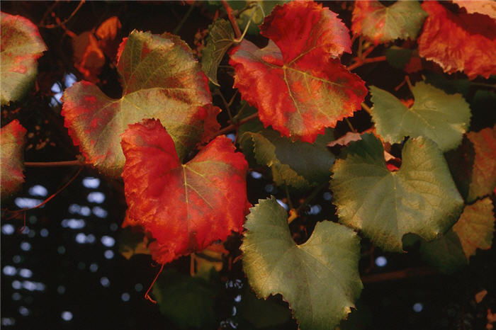 Plant photo of: Vitis X californica 'Roger's Red'