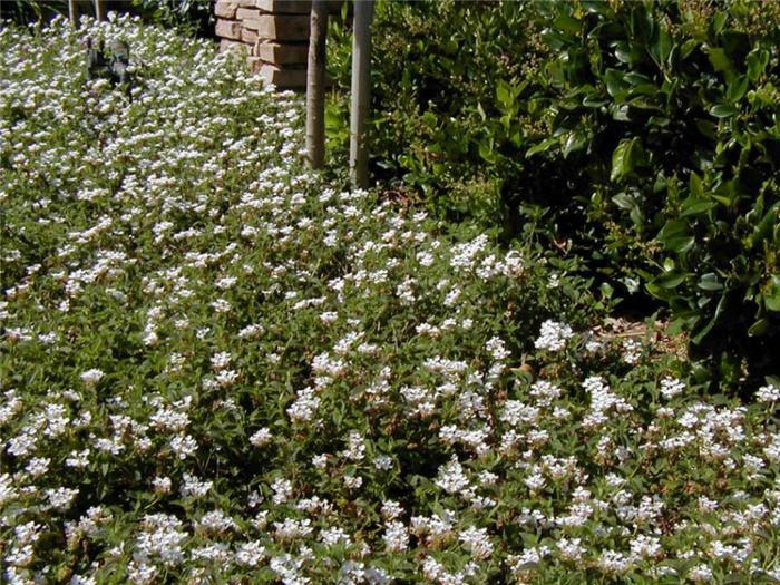 Lantana Montevidensis White Lightnin