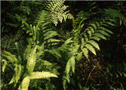 Netted Chain Fern, or Narrow-Leaved