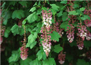Southern Pink Currant