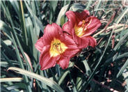 Hemerocallis 'Apple Annie'