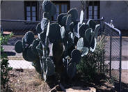 Silver Dollar, Giant Prickly Pear C