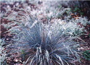 Large Blue Fescue, Tufted Fescue