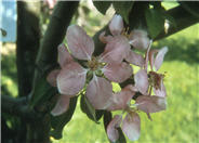 Hopa Old-Fashioned Crabapple