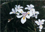 Butterfly Iris or Fortnight Lily