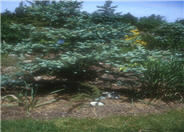 Picea pungens glauca 'Koster'